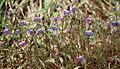 Cyanotis fasciculata (Nilwanti) in Hyderabad, AP W IMG 9995.jpg