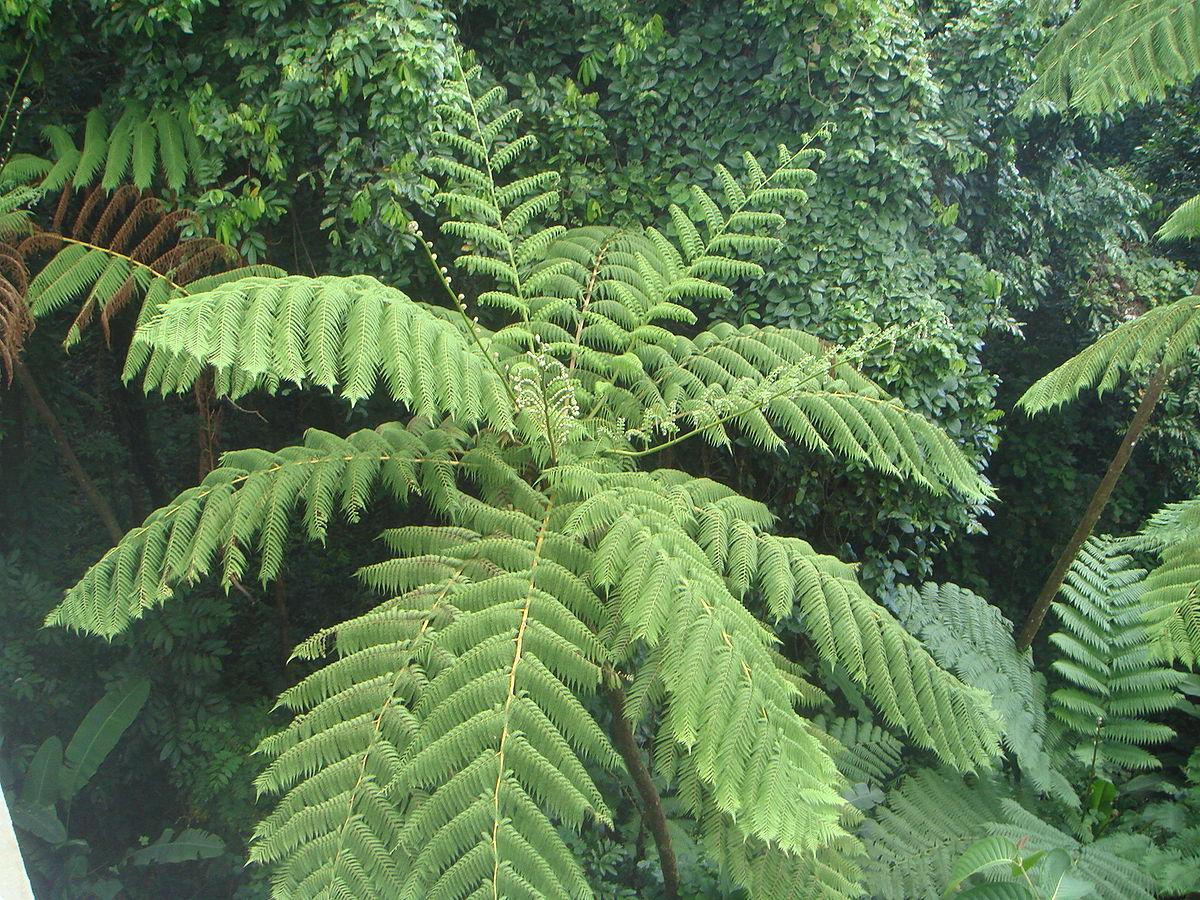 Cyathea arborea wikipedia for Arboles de jardin fotos