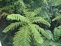 Cyathea arborea 1.JPG