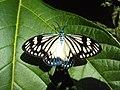 Cyclosia papilionaris - Drury's Jewel - at Peravoor.jpg