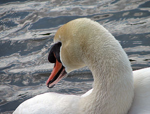 English: A close-up of a swan (Cygnus olor).