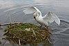 Cygnus olor, nests with eggs, Höckerschwan mit Nest.JPG
