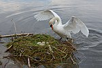 Cygnus olor, nests with eggs, Höckerschwan mit Nest.JPG