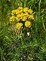 Cypress Spurge (Euphorbia cyparissias) (5971120635).jpg