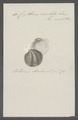 Cytherea exoleta - - Print - Iconographia Zoologica - Special Collections University of Amsterdam - UBAINV0274 078 01 0040.tif