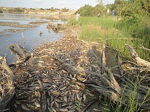 Moulouya River - Fish killed by pollutants fill the Moulouya River in August 2011.