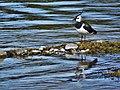DSCN2010- Ein Kiebitz am Zielfinger Vogelsee.jpg