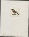 Dacnis flaviventer - 1700-1880 - Print - Iconographia Zoologica - Special Collections University of Amsterdam - UBA01 IZ19000377.tif