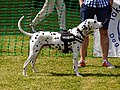 Dalmatian at Easton Lodge Gardens open day, Little Easton, Essex, England 01.jpg