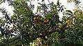 Damson fruit in Myanmar.jpg