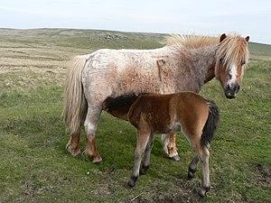 Dartmoor pony - A Dartmoor mare nursing her foal