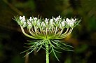 Daucus carota May 2008-1 edit.jpg