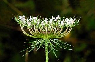 <i>Daucus carota</i> Species of flowering plant in the family Apiaceae