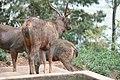 Deer from DeerPark near Boat House Ooty02.jpg