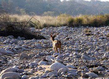 Deer in Corbett National Park.jpg