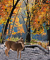 Deer in the Fall Trees (8230858567).jpg