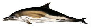 Short-beaked common dolphin - Early illustration from Transactions of the Zoological Society of London (1944)