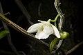 Dendrobium endertii (Kalimantan Indonesia) J.J.Sm., Bull. Jard. Bot. Buitenzorg, sér. 3, 11- 138 (1931) (24211690017).jpg