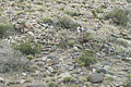 Desert Bighorn Sheep (Ovis canadensis nelsoni) (20927663898).jpg