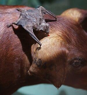 Vampire bat - A vampire bat feeding on a pig (taxidermy specimens)