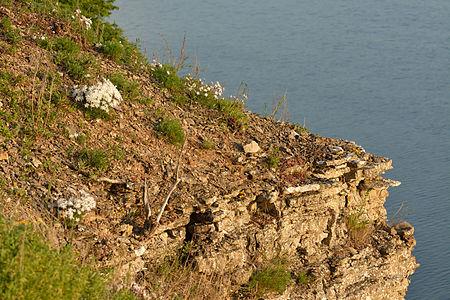 Natural habitat of sand pink on Pakri cliff, Northwestern Estonia