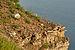 Dianthus arenarius arenarius - nõmmnelk Pakri3.jpg