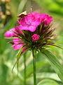 Dianthus barbatus PID1688-2.jpg