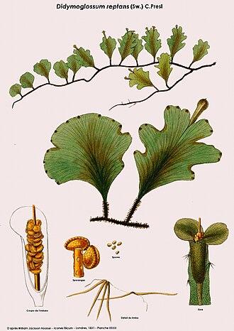 Didymoglossum - Didymoglossum reptans