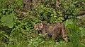 Die Wildkatze in der Wildnis.jpg