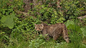 European wildcat - European wildcat in a German game park