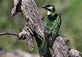 Diederik cuckoo, Chrysococcyx caprius, at Mapungubwe National Park, Limpopo, South Africa - male (29965837501).jpg