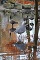 Dierenpark Emmen Reflection of a grey heron (10930274866).jpg