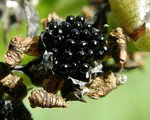 venus flytrap wikipedia rh en wikipedia org