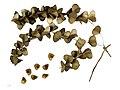 Dioscorea sp. MHNT.BOT.2013.22.35.jpg