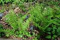 Diplazium pycnocarpon - Jenkins Arboretum - DSC00657.JPG
