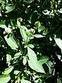 Dipsacus pilosus leaf (02).jpg
