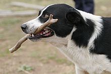 Dog retrieving stick.jpg