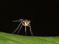 Dolichopodidae - Langbeinfliege (6259456229).jpg