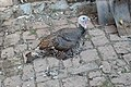 Domestic turkey1.jpg