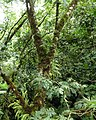 Dominica, Karibik - Trois Pitons National Park - A Tree hosted Bromeliads and other Plants - panoramio.jpg