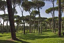 I pini domestici, alberi dominanti in città, a Villa Doria Pamphili