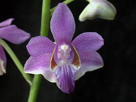 Le langage des fleurs : l'orchidée. dans LE LANGAGE DES FLEURS. 280px-Doritis_pulcherrima_f_coerulea_toapel