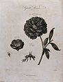 Double and single paeony (Paeonia sp.); flowering stem of th Wellcome V0042989.jpg