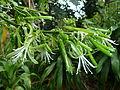 Dracaena aletriformis, bloeiwyse, c, Springbokpark.jpg