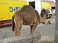Dromadaire (Camelus dromedarius).jpg