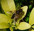 Drone-fly. Eristalis pertinax. Male. Syrphidae - Flickr - gailhampshire.jpg