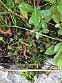 Drosera rotundifolia, Rootstown Township, OH.jpg