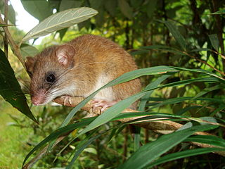 <i>Drymoreomys</i> A rodent genus with one species in the family Cricetidae from the Atlantic Forest of Brazil.
