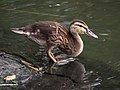 Duckling in Central Park (81320).jpg