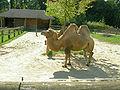 Dvogrba kamela.JPG